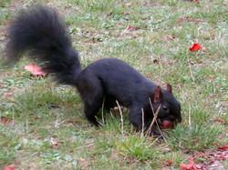 Squirrel Black (2)