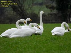 Whooper Swan 8