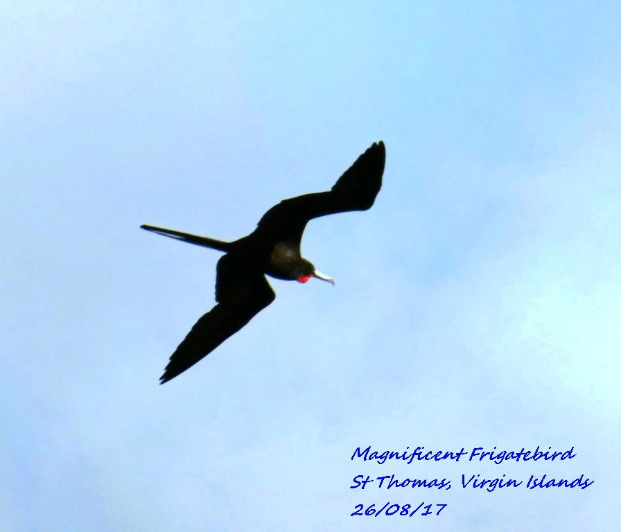 Magnificent Frigatebird 2