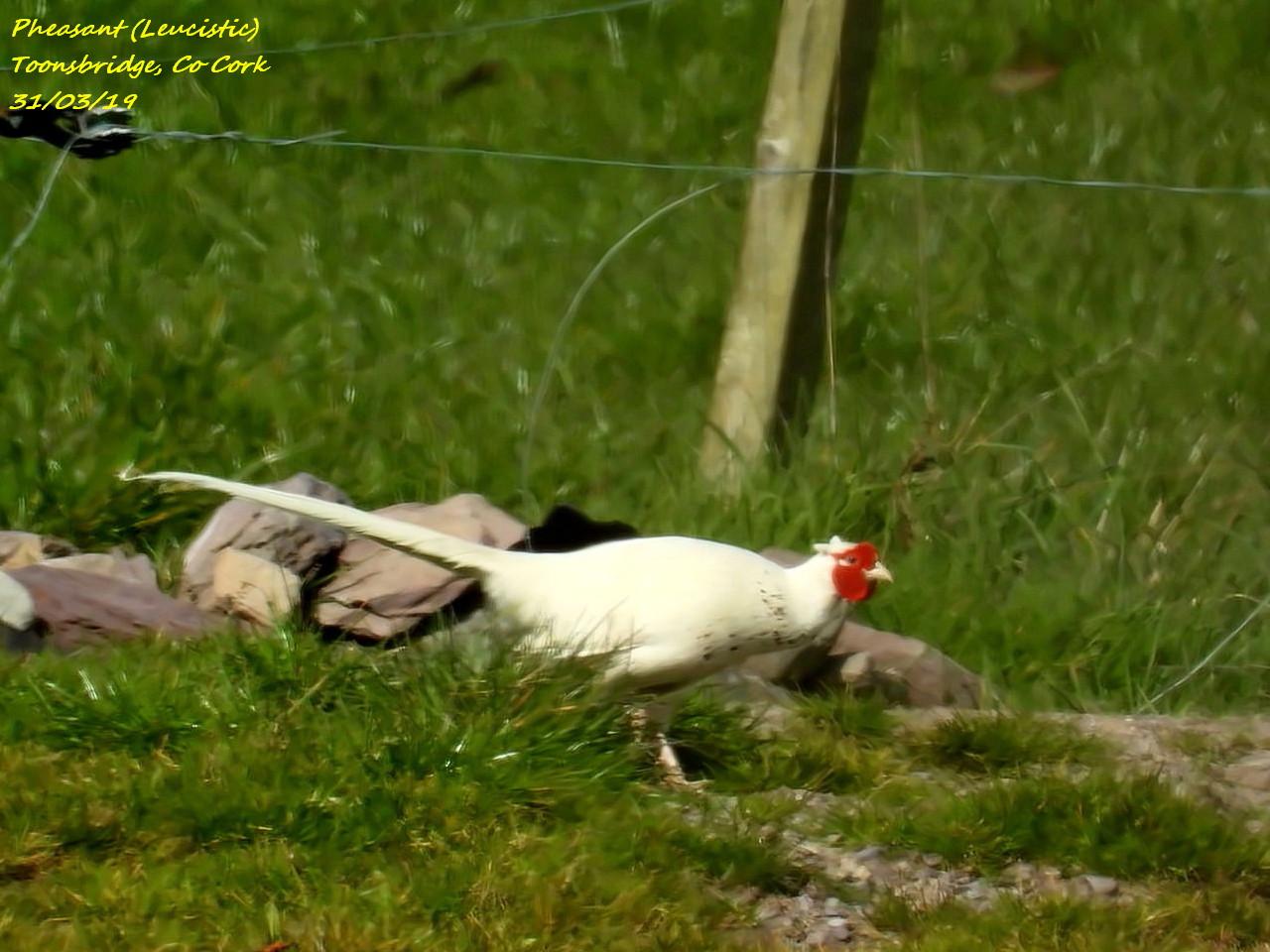Pheasant (Leucistic) 4