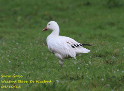 Snow Goose 2