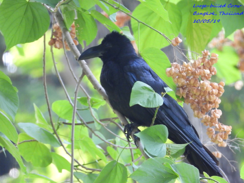 Large-billed Crow 1