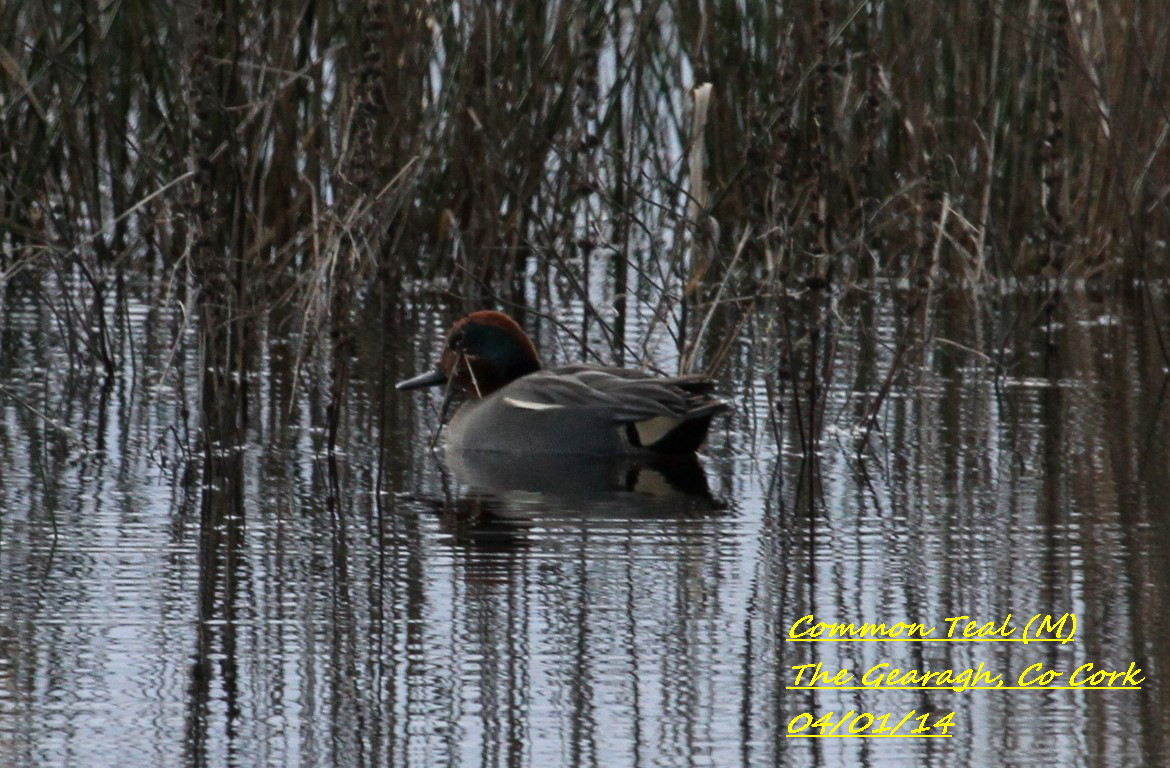 Common Teal 4