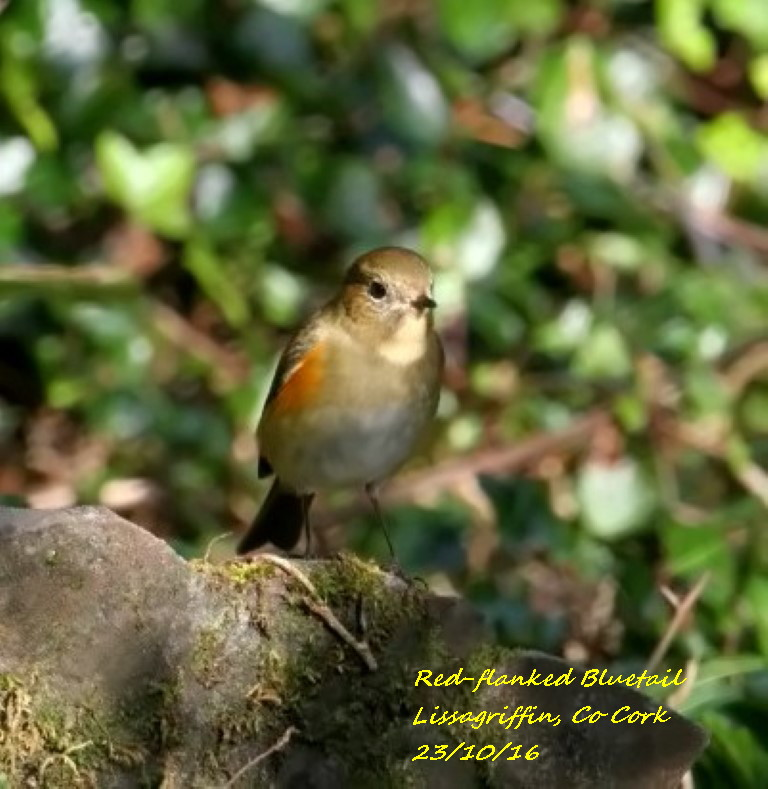 Red-flanked Bluetail 5