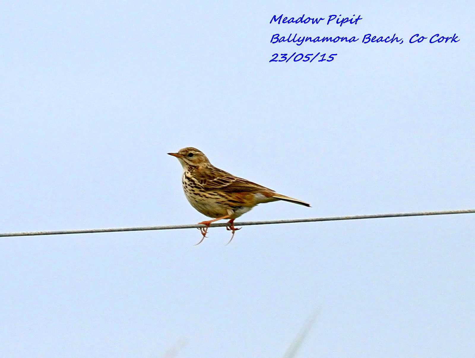 Meadow Pipit 5