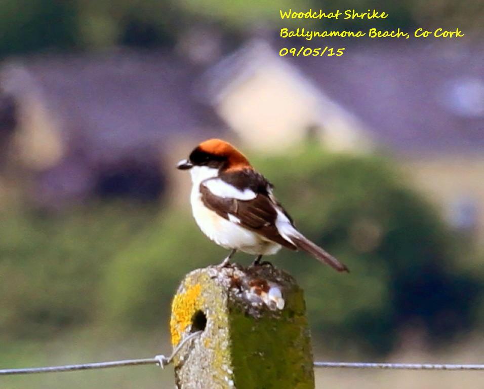 Woodchat Shrike 6