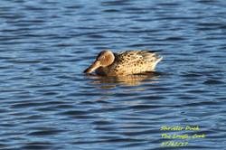 Shoveler Duck 7