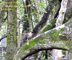 Mangrove Pitta 1
