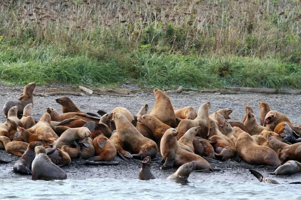 Steller Sea Lion (1)