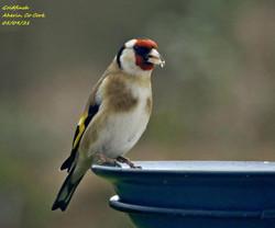Goldfinch 5