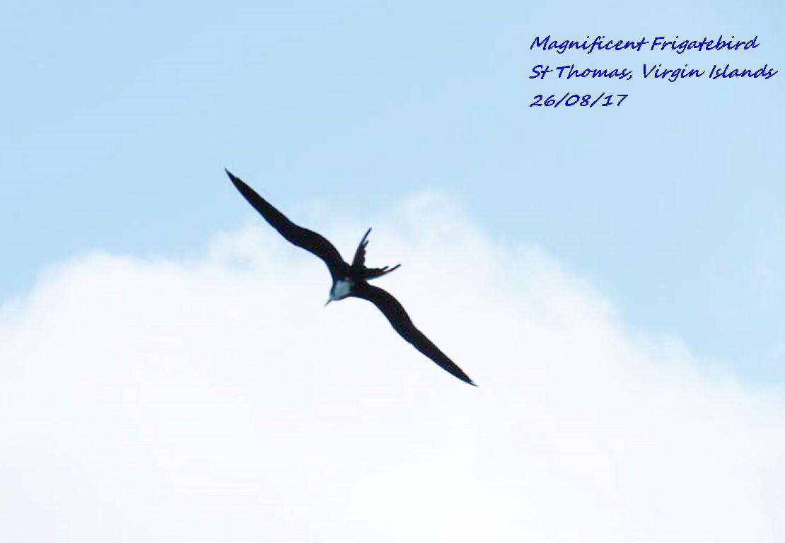 Magnificent Frigatebird 1