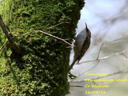 Treecreeper 2