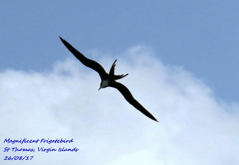 Magnificent Frigatebird 3