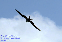 Magnificent Frigatebird 3