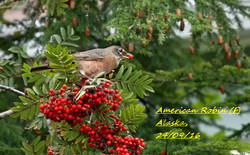 American Robin 5
