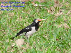 Asian Pied Starling 2