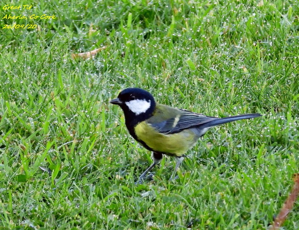Great Tit 4