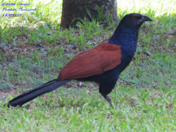 Greater Coucal 5