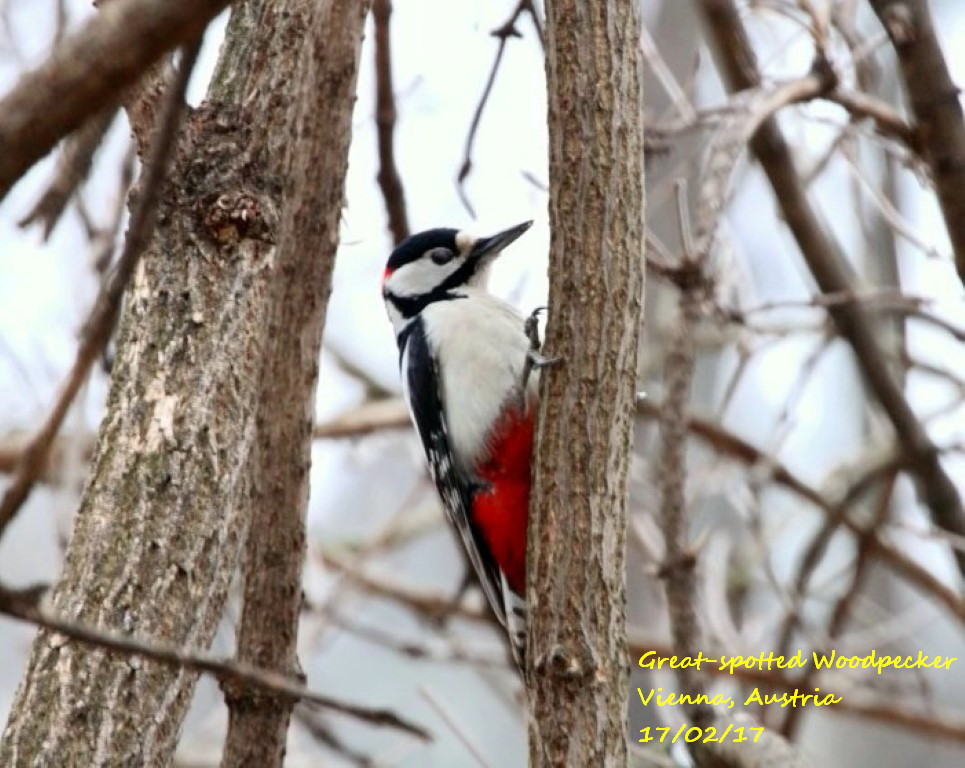 Great-spotted Woodpecker 5