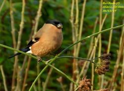 Bullfinch 7