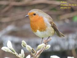 Robin 10
