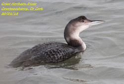 Great Northern Diver 2