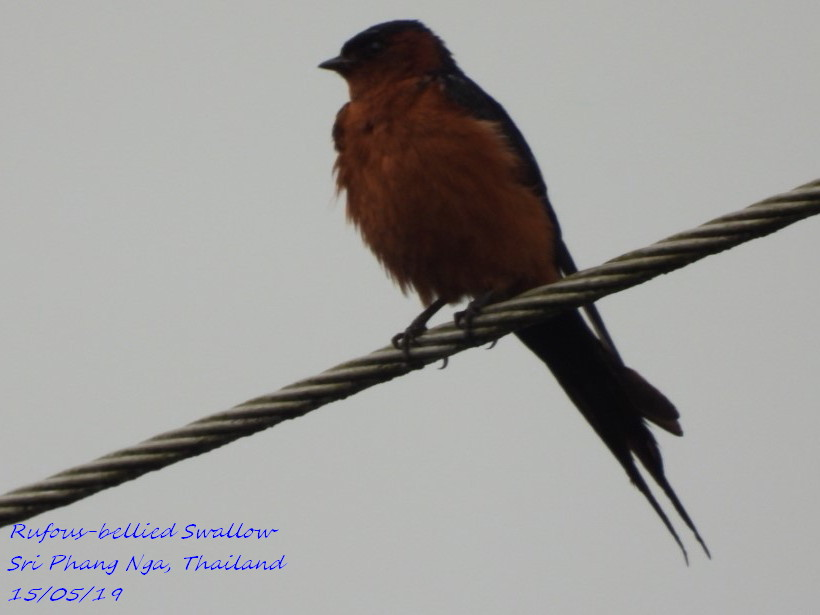 Rufous-bellied Swallow 2