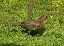 Blackbird 10
