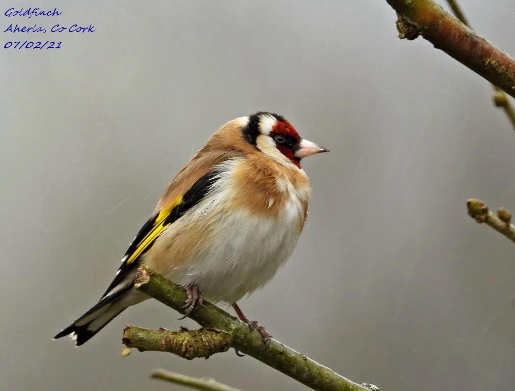 Goldfinch 1