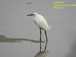 Little Egret 8