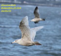 Glaucous Gull 4