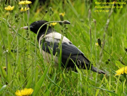 Rose-coloured Starling 1