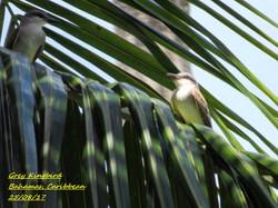 Grey Kingbird 4