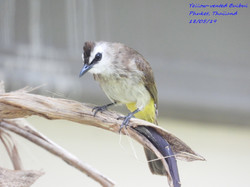 Yellow-vented Bulbul 3