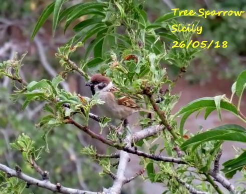 Tree Sparrow 2