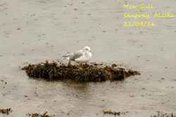 Mew Gull 1