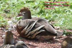 Plumed Whistling Duck 1