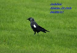 Jacdaw 4