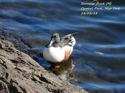 Shoveler Duck 1