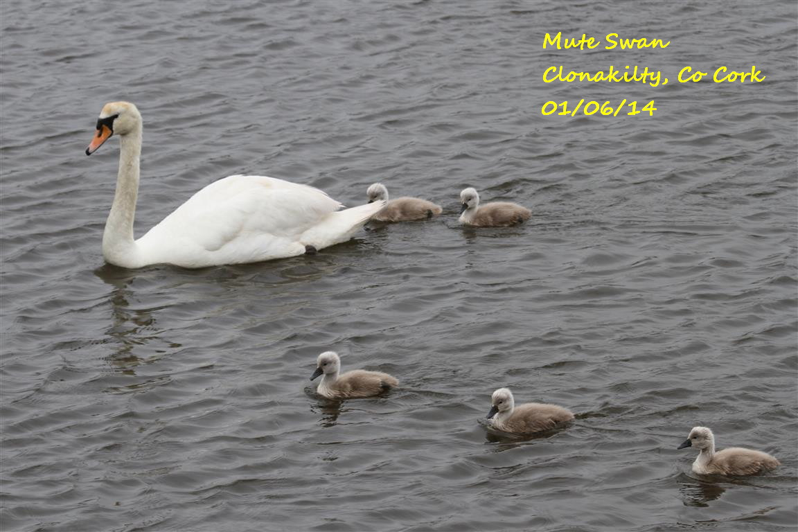 Mute Swan 3