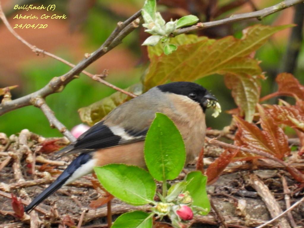 Bullfinch 9
