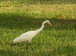 Intermediate Egret 4