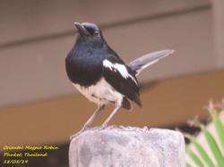 Oriental Magpie Robin 6