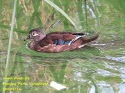 Wood Duck 6