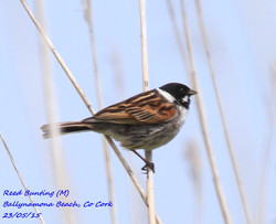 Reed Bunting 1