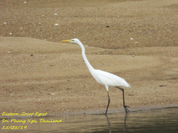 Eastern Great Egret 2