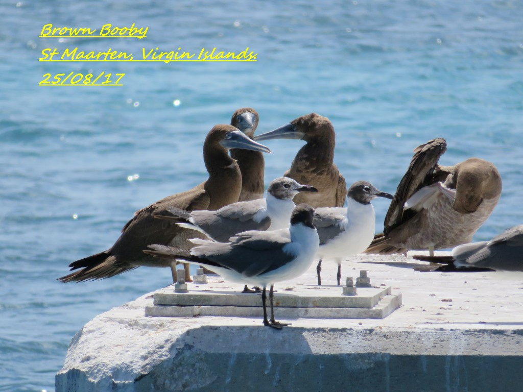 Brown Booby 3