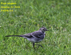 Pied Wagtail 1