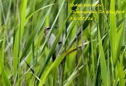 Sedge Warbler 4