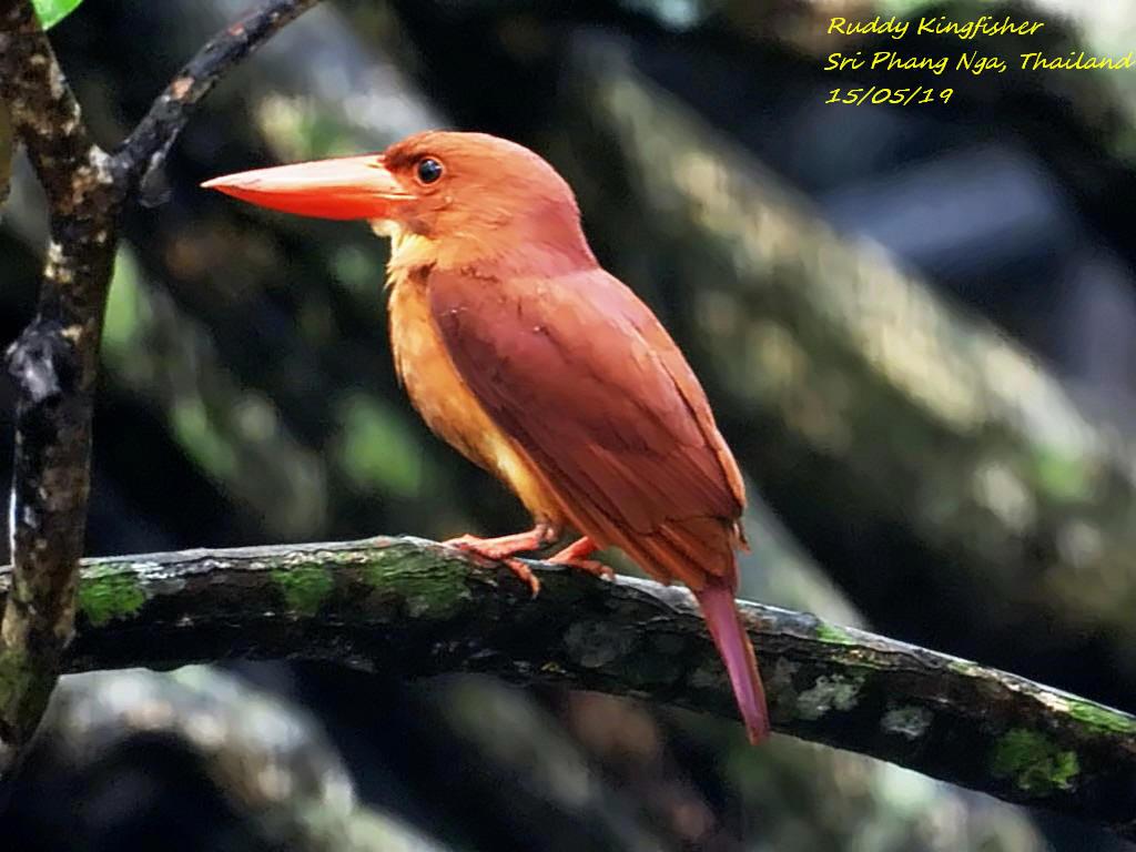 Ruddy Kingfisher 2